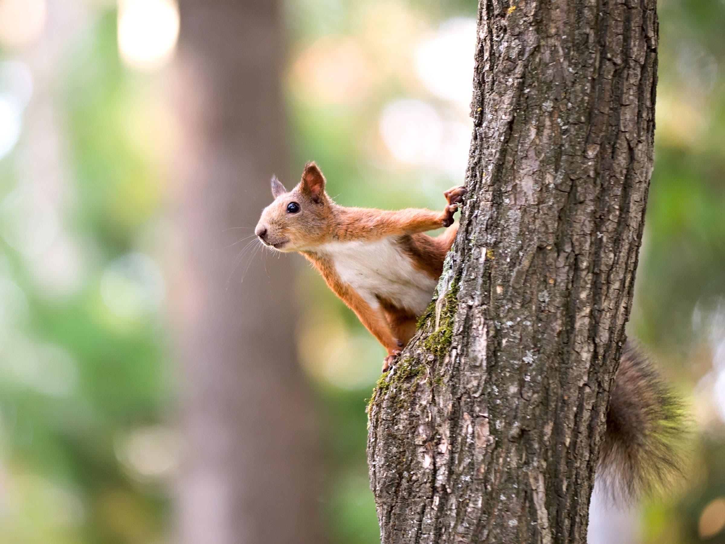 squirrel versus jogger